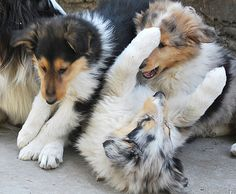~ Collie puppies at play