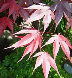 Live PlantRed Japanese Maple by TheMittenLoft on Etsy