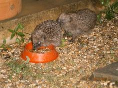 We may be getting more hedgepigs!