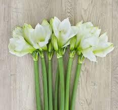 amryllis blanc -