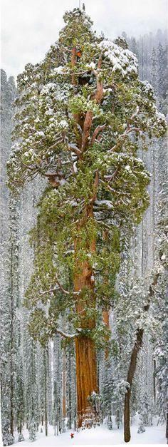Os fotógrafos do NatGeo resolveram fotografar esse ser e tiveram que suar a camisa – mesmo debaixo de neve – para conseguir realizar a façanha de tirar uma fotografia de uma árvore gigantesca como essa: