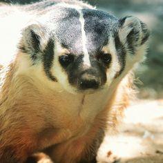 "11 Likes, 1 Comments - Aurora Digital Design (@aurora_digital_design) on Instagram: ""Badger portrait #greatervancouverzoo #badgers #mammals #auroradigitaldesignstudio #portrait…"""