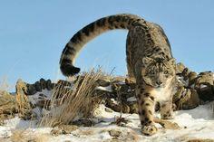 P. uncia (Snow Leopard)