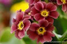 A closer look at the beautiful flowers of Primula auricula 'Iona Heaven Scent'.