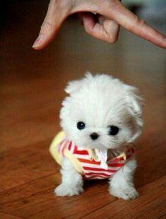 Baby maltice puppy