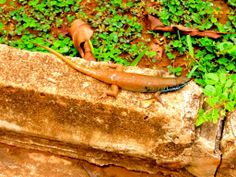 African colorful lizard.