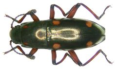 Family: Erotylidae Size: 18 mm Location: Indonesia, Moluccas, Bacan leg.det. A.Skale, 2006 Photo: U.Schmidt, 2007