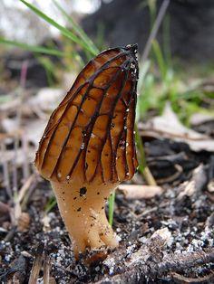 Morchella 'morel' mushroom
