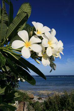 Plumeria blooms over the Indian Ocean at the luxury Alfajiri villas on Kenya's Swahili Coast, 25 miles south of Mombasa (www.alfajirivillas.com). Image copyright www.amandacastleman.com. — at Diani Beach.