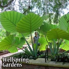 elephant ears and tropicals Colocasia gigantea 'Thailand Giant' - Elephant Ear Plant Information below is only the potential the plant has. You will be receiving one plant be Elephant Ear Plant, Elephant Ears, Thai Elephant, Elephant Ear Bulbs, Tropical Landscaping, Tropical Plants, Tropical Gardens, Palm Garden, Tropical Backyard