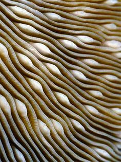 Calcareous septa of Fungia fungites, a mushroom coral photographed by Wolfgang Seifarth, a German molecular biologist, in the Maldives.