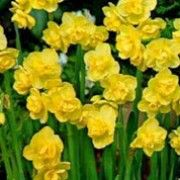 Narcissus 'Yellow Cheerfulness' (Daffodil 'Yellow Cheerfulness') Click image to learn more, add to your lists and get care advice reminders each month.