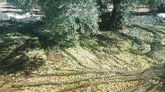 Oleoturismo  http://ift.tt/2flQfeU #viajar #disfrutar #ocio #travel #experienciasunicas #experiencias #planes #amigos #trip #descubrir #thingstodoinspain #friends #share #trip #yuniqtrip #unique  #oleoturismo #aceite #orolíquido #olive #oliveoil #almazaras #enjoy #spanishfood