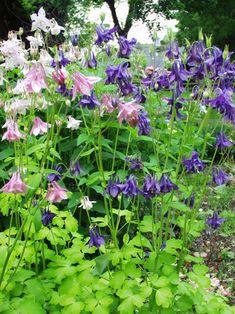 Aquilegia Biedermeier -- Bluestone Perennials