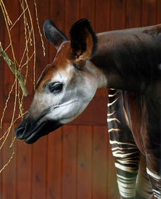 The Okapi, Okapia johnstoni, forest Giraffe is a giraffid artiodactyl mammal native to the Ituri Rainforest, located in the Democratic Republic of the Congo, in Africa. Although the okapi bears striped markings reminiscent of zebras, it is most closely related to the giraffe. The animal was brought to prominent European attention by speculation on its existence found in popular press reports covering Henry Morton Stanley's journeys in 1887. Today, about 10,000–20,000 remain in the wild.