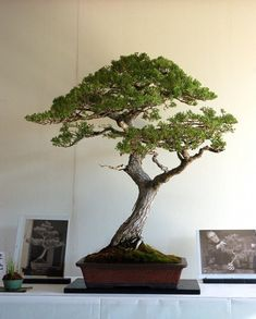 Monterey Cypress bonsai by Katsumi Kinoshita.   The tree was started around 1950.
