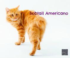 Bobtail Americano