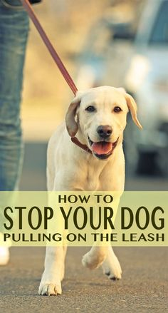 How to stop your dog pulling on the leash will help you put an end to being dragged around by your dog