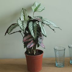 Buy The zebra plant (marantaceae) Calathea 'White Star': Delivery by Crocus