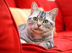 CAT 02 BK0005 01 - American Shorthair Silver Tabby Laying On Red Couch - Kimballstock