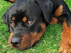 I hope to own a Rottweiler one day.