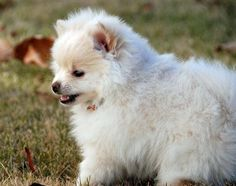 fluffy pomeranians are way too cute for me to handle