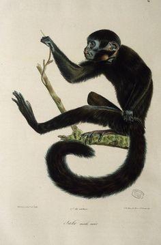 Dessins anciens de singes : singe Sakinoir male.jpg