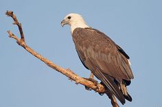White-bellied Sea-Eagle - Haliaeetus leucogaster | Flickr - Photo Sharing!
