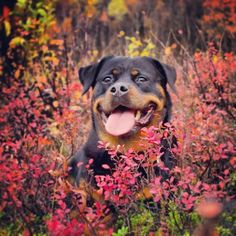 Amazing #Rotty #dog