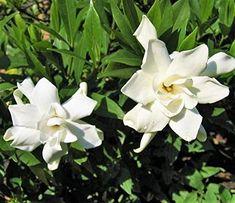 Frost Proof Gardenia - Cape Jasmine - Live Plant - Quart ... https://www.amazon.com/dp/B01MUURC1P/ref=cm_sw_r_pi_dp_U_x_-tmAAb039VWGE