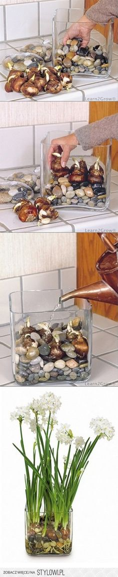 Both clean, modern furnishings and rustic country décor match bulbs forced in a clear glass container partially filled with decorative rocks, polished stones or marbles. Choose large, heavy bulbs for (Diy Garden Indoor) Garden Plants, Indoor Plants, Indoor Flowers, Bulb Flowers, Water Plants, Dream Garden, Home And Garden, Ideias Diy, Deco Floral
