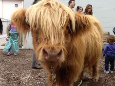 Shaggy our miniature Scottish Highland steer at the Greenbrier Family YMCA. www.theteenytinyfarm.com