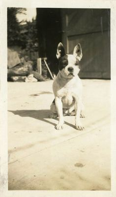 I love vintage photos of the old school bostons.shows how far the breed has come and changed along the way.Vintage Photo Boston Terrier Photography Paper by dawnandross, $25.00