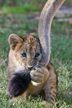 """""""Mom doesn't know who she's messing with."""" Lion cub = epic cuteness"""