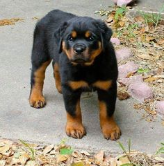 """Obtain wonderful tips on """"Rottweiler dogs"""". They are on call for you on our internet site. Kittens And Puppies, Cute Dogs And Puppies, Big Dogs, I Love Dogs, Doggies, Rottweiler Love, Rottweiler Puppies, Really Cute Puppies, Large Dog Breeds"""