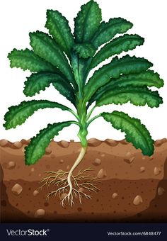 Fresh kale with roots Royalty Free Vector Image Free Vector Images, Vector Free, Kale, Adobe Illustrator, Illustration, Roots, Plant Leaves, Cool Designs, Fresh
