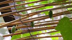 vassgardin i växthustak Asparagus, Vegetables, Garden, Sun, Garten, Lawn And Garden, Veggie Food, Vegetable Recipes, Gardening