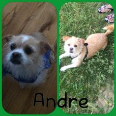 Meet Andre, a Petfinder adoptable Terrier Dog | New York, NY | Hi my name is Andre and I am an 8 pound cutie who is looking for a loving family to call my own.