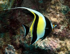 The moorish idol, Zanclus cornutus, is a small marine fish species, the sole representative of the the Family Zanclidae in order Perciform. A common inhabitant of tropical to subtropical reefs and lagoons, the moorish idol is notable for its wide distribution throughout the Indo-Pacific. A number of butterflyfishes closely resemble the moorish idol.