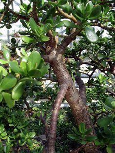 Crassula (Crassula ovata) : arrosage, entretien Plante Crassula, Crassula Ovata, Plants, Gardens, White Flowers, Interview, Plant, Planets