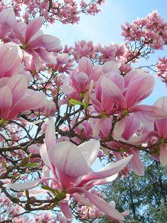 The Magnolia are the first ones to bloom. – Yorxs The Magnolia are the first ones to bloom. The Magnolia are the first ones to bloom. Magnolia Trees, Magnolia Flower, Magnolia Mom, Saucer Magnolia Tree, Magnolia Stellata, Sweet Magnolia, Morris Arboretum