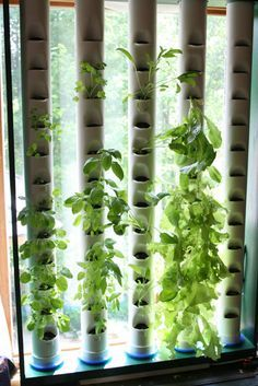A Vertical Aquaponics System Indoor Aquaponics - the ultimate science fair project! Take a look at the house this guy built. Very interestingIndoor Aquaponics - the ultimate science fair project! Take a look at the house this guy built. Very interesting Aquaponics System, Indoor Aquaponics, Aquaponics Plants, Aquaponics Greenhouse, Vertical Hydroponics, Diy Hydroponics, Indoor Vegetable Gardening, Organic Gardening, Urban Gardening