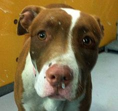 *CUPCAKE-ID#A703786    Shelter staff named me CUPCAKE.    I am a spayed female, white and brown Pit Bull Terrier.    The shelter staff think I am about 1 year and 1 month old.    I have been at the shelter since Apr 18, 2013.