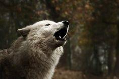☽ howl ☾