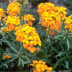 """Dazzling, bright orange blooms illuminate the late spring meadow, creating an unforgettable statement. Siberian Wallflower is easy to grow, adapting to most soil types and growing in partial shade. Growing to only 10-18"""" tall, we recommend planting this bold beauty in the front of the meadow or garden. All of the seed we handle at American Meadows is non-GMO, neonicotinoid-free and guaranteed to grow. Biennial."""