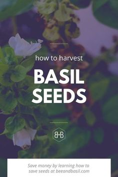 Love the variety of basil you're growing? Grow it year after year WITHOUT spending more money on seeds! In this post, you'll learn how to save the seeds from this year's basil plant to grow more basil next year...for free! #gardening #basil #seeds #seedsaving Easy Herbs To Grow, Easy Vegetables To Grow, Growing Herbs, Fresh Vegetables, Herb Garden, Vegetable Garden, Basil Plant, Love The Earth, Herbs Indoors
