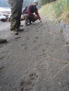 Mountain lion and black bear tracks along a beach on the Olympic Peninsula