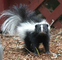 If skunks weren't so stinky - they'd be fun pets!  They snuggle up like kittens and love to be held.