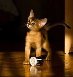Abyssinian kitten .. ♥