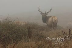 tule elk stands out in the misty surroundings  award-winning photography by Beauty Unfurled www.beautyunfurled.com